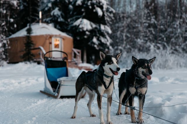 Sled Dogs Ready